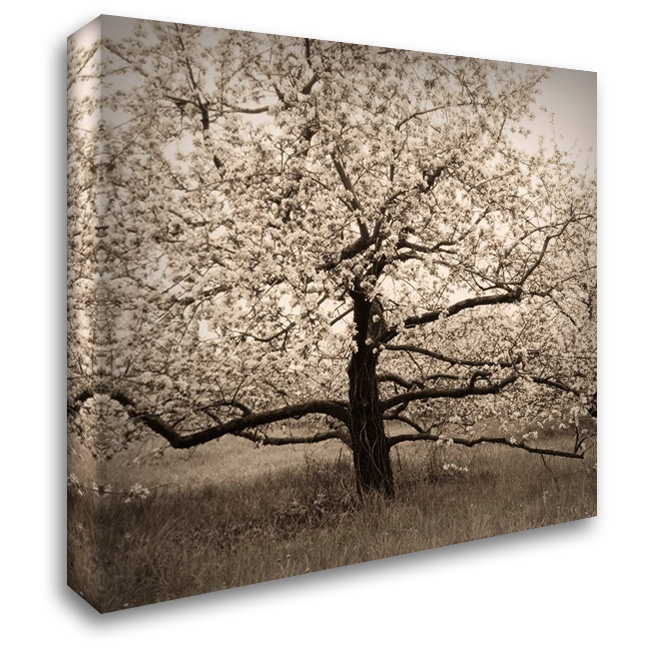 Apple Tree in Bloom 28x28 Gallery Wrapped Stretched Canvas Art by Triebert, Christine