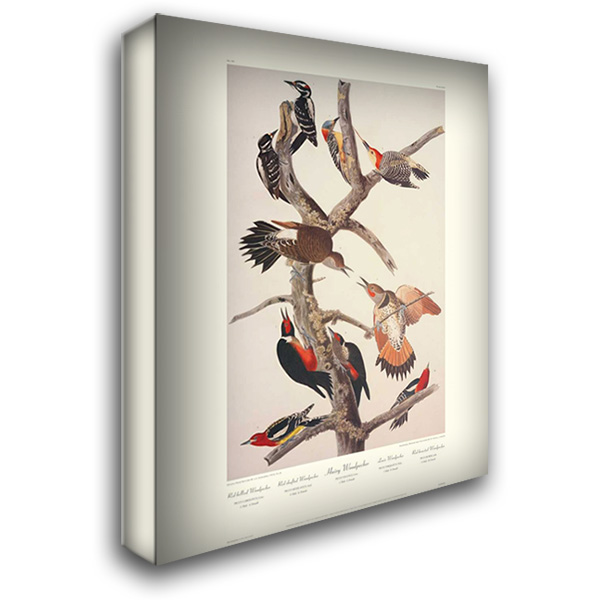 Hairy Woodpecker (decorative border) 28x36 Gallery Wrapped Stretched Canvas Art by Audubon, John James